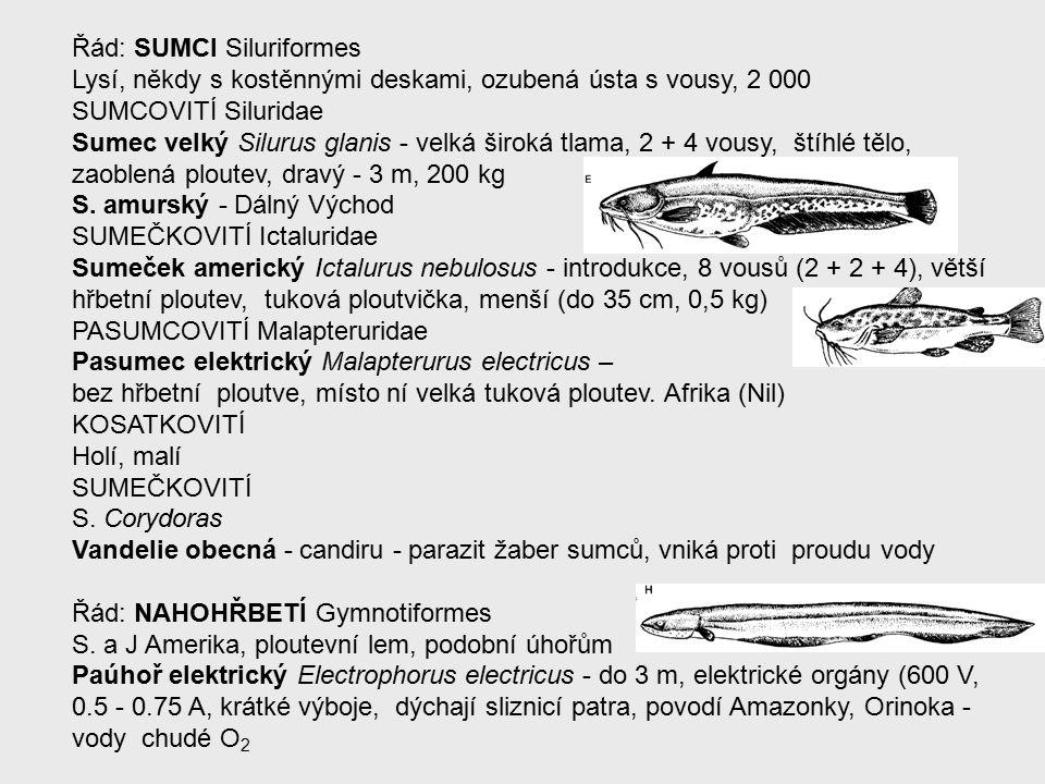 Řád: SUMCI Siluriformes Lysí, někdy s kostěnnými deskami, ozubená ústa s vousy, 2 000 SUMCOVITÍ Siluridae Sumec velký Silurus glanis - velká široká tlama, 2 + 4 vousy, štíhlé tělo, zaoblená ploutev, dravý - 3 m, 200 kg S.