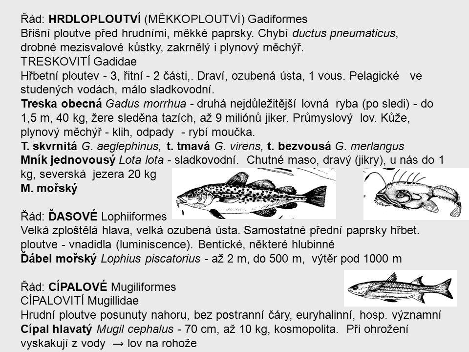 Řád: HRDLOPLOUTVÍ (MĚKKOPLOUTVÍ) Gadiformes Břišní ploutve před hrudními, měkké paprsky.
