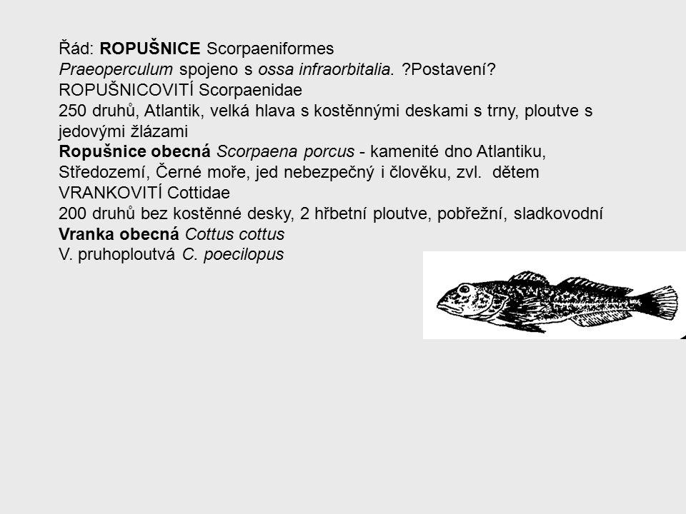 Řád: ROPUŠNICE Scorpaeniformes Praeoperculum spojeno s ossa infraorbitalia.