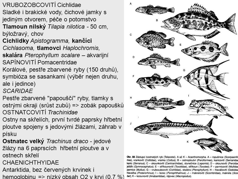 VRUBOZOBCOVITÍ Cichlidae Sladké i brakické vody, čichové jamky s jediným otvorem, péče o potomstvo Tlamoun nilský Tilapia nilotica - 50 cm, býložravý, chov Cichlidky Apistogramma, kančíci Cichlasoma, tlamovci Haplochromis, skalára Pterophyllum scalare – akvarijní SAPÍNOVITÍ Pomacentridae Korálové, pestře zbarvené ryby (150 druhů), symbióza se sasankami (výběr nejen druhu, ale i jedince) SCARIDAE Pestře zbarvené papouščí ryby, tlamky s ostrými okraji (srůst zubů) => zobák papoušků OSTNATCOVITÍ Trachinidae Ostny na skřelích, první tvrdé paprsky hřbetní ploutve spojeny s jedovými žlázami, záhrab v písku Ostnatec velký Trachinus draco - jedové žlázy na 6 paprscích hřbetní ploutve a v ostnech skřelí CHAENICHTHYIDAE Antarktida, bez červených krvinek i hemoglobinu => nízký obsah O2 v krvi (0,7 %)