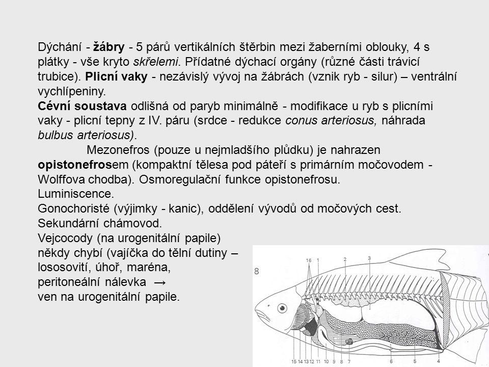 Dýchání - žábry - 5 párů vertikálních štěrbin mezi žaberními oblouky, 4 s plátky - vše kryto skřelemi.