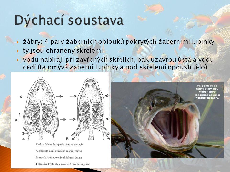  žábry: 4 páry žaberních oblouků pokrytých žaberními lupínky  ty jsou chráněny skřelemi  vodu nabírají při zavřených skřelích, pak uzavřou ústa a vodu cedí (ta omývá žaberní lupínky a pod skřelemi opouští tělo)