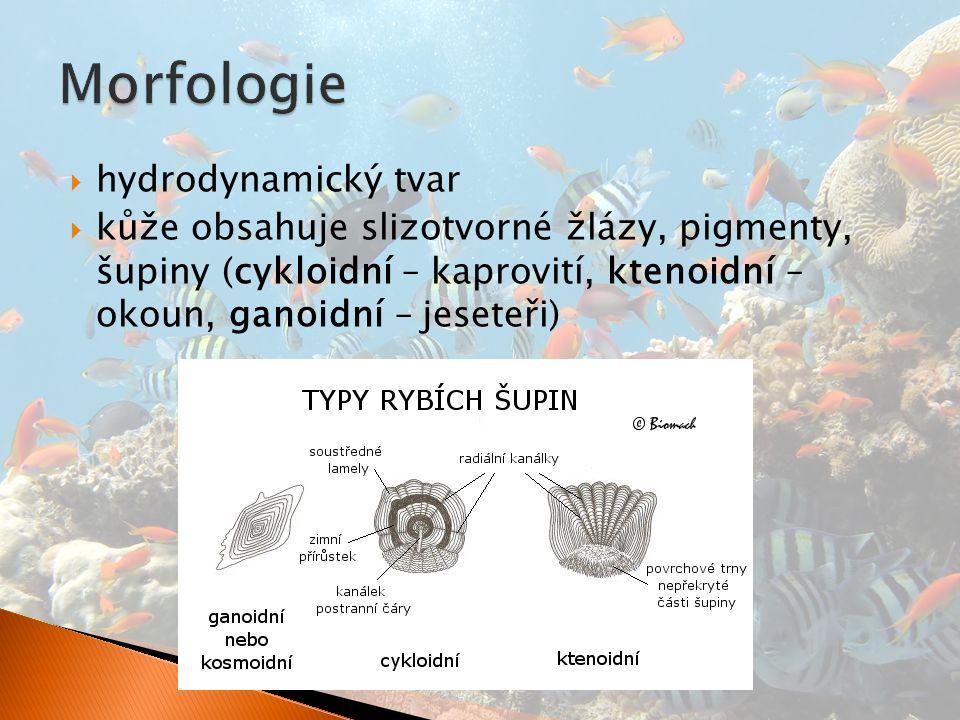  hydrodynamický tvar  kůže obsahuje slizotvorné žlázy, pigmenty, šupiny (cykloidní – kaprovití, ktenoidní – okoun, ganoidní – jeseteři)