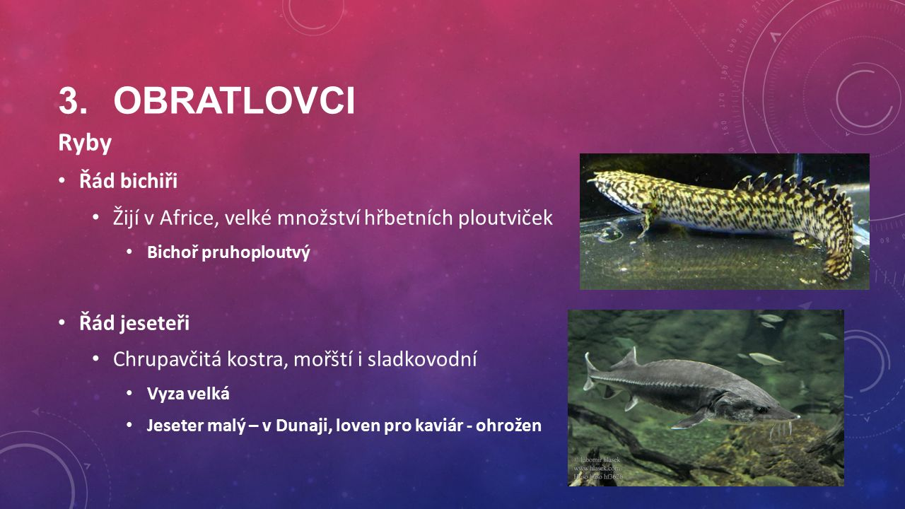 3.OBRATLOVCI Ryby Řád bichiři Žijí v Africe, velké množství hřbetních ploutviček Bichoř pruhoploutvý Řád jeseteři Chrupavčitá kostra, mořští i sladkovodní Vyza velká Jeseter malý – v Dunaji, loven pro kaviár - ohrožen