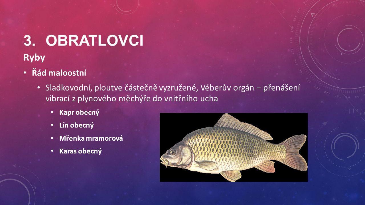 3.OBRATLOVCI Ryby Řád maloostní Sladkovodní, ploutve částečně vyzružené, Véberův orgán – přenášení vibrací z plynového měchýře do vnitřního ucha Kapr