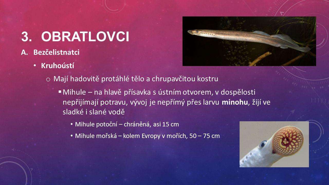 3.OBRATLOVCI A.Bezčelistnatci Kruhoústí o Mají hadovitě protáhlé tělo a chrupavčitou kostru  Mihule – na hlavě přísavka s ústním otvorem, v dospělosti nepřijímají potravu, vývoj je nepřímý přes larvu minohu, žijí ve sladké i slané vodě Mihule potoční – chráněná, asi 15 cm Mihule mořská – kolem Evropy v mořích, 50 – 75 cm