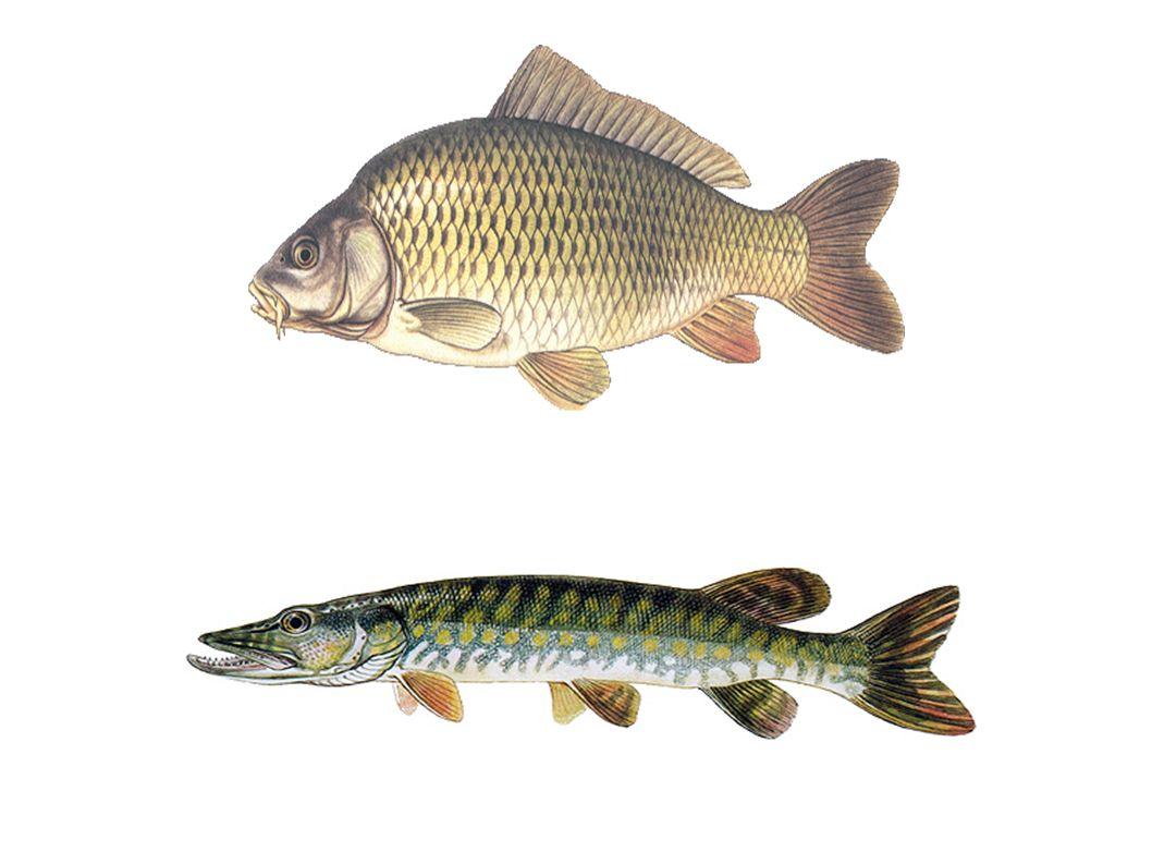 Třída: Ryby znaky: ● tělo protáhlé, ze stran zploštělé ● kůže kryta šupinami a slizem ● končetiny = ploutve: – párové – břišní, prsní – nepárové – hřbetní, ocasní, řitní ● nemají stálou tělní teplotu = poikilotermní