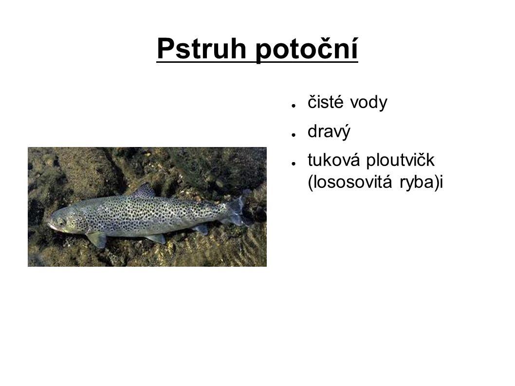 Pstruh potoční ● čisté vody ● dravý ● tuková ploutvičk (lososovitá ryba)i