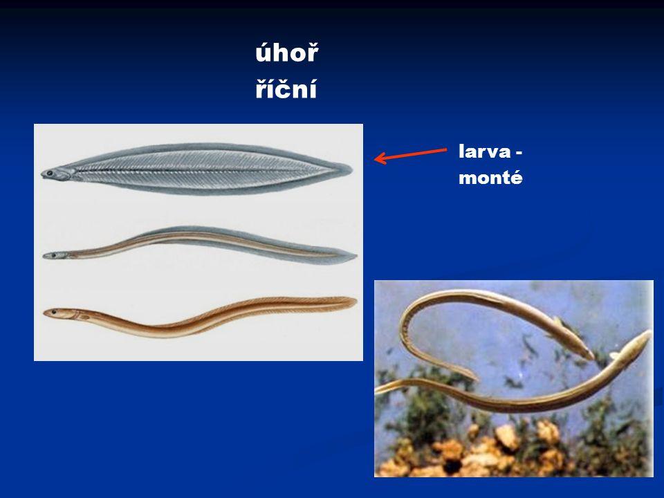 úhoř říční larva - monté