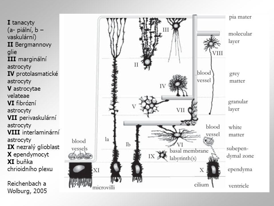I tanacyty (a- piální, b – vaskulární) II Bergmannovy glie III marginální astrocyty IV protolasmatické astrocyty V astrocytae velateae VI fibrózní astrocyty VII perivaskulární astrocyty VIII interlaminární astrocyty IX nezralý glioblast X ependymocyt XI buňka chrioidního plexu Reichenbach a Wolburg, 2005