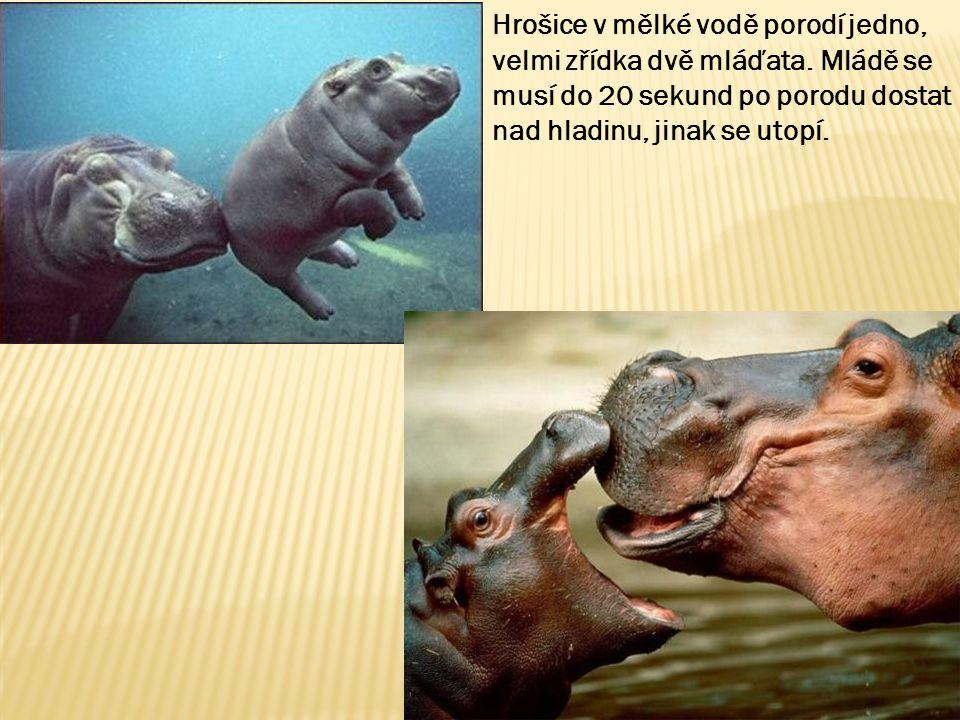 Hrošice v mělké vodě porodí jedno, velmi zřídka dvě mláďata.