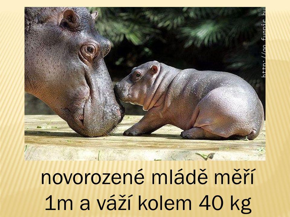 novorozené mládě měří 1m a váží kolem 40 kg