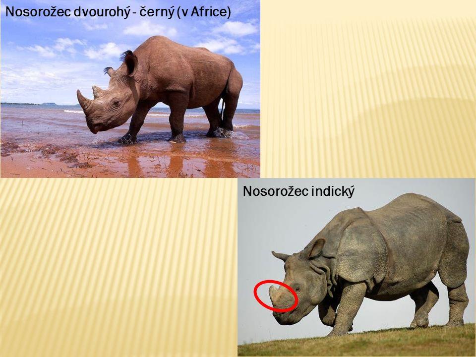 Nosorožec dvourohý - černý (v Africe) Nosorožec indický