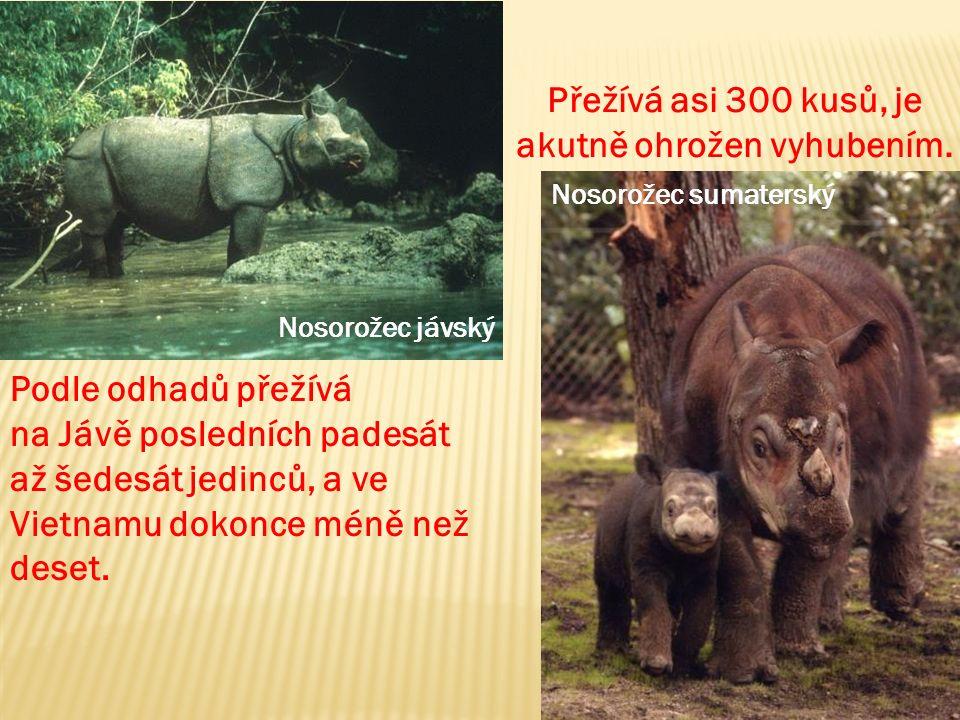 Nosorožec jávský Nosorožec sumaterský Přežívá asi 300 kusů, je akutně ohrožen vyhubením.