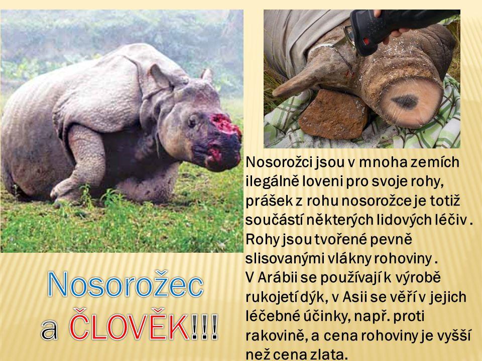 Nosorožci jsou v mnoha zemích ilegálně loveni pro svoje rohy, prášek z rohu nosorožce je totiž součástí některých lidových léčiv.