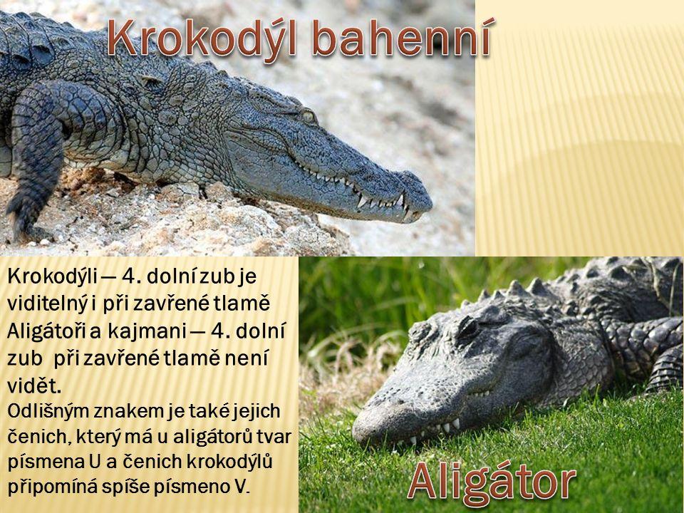 Krokodýli — 4.dolní zub je viditelný i při zavřené tlamě Aligátoři a kajmani — 4.