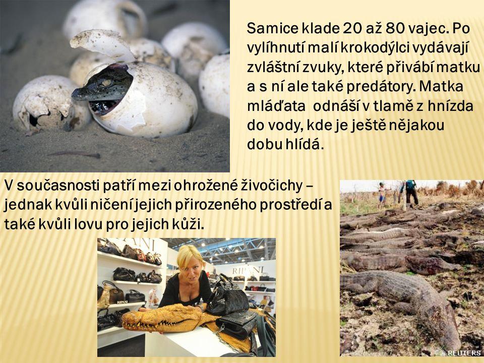 Samice klade 20 až 80 vajec.