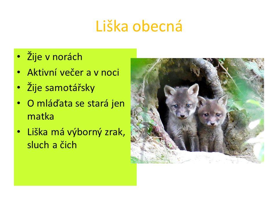 Liška obecná Žije v norách Aktivní večer a v noci Žije samotářsky O mláďata se stará jen matka Liška má výborný zrak, sluch a čich