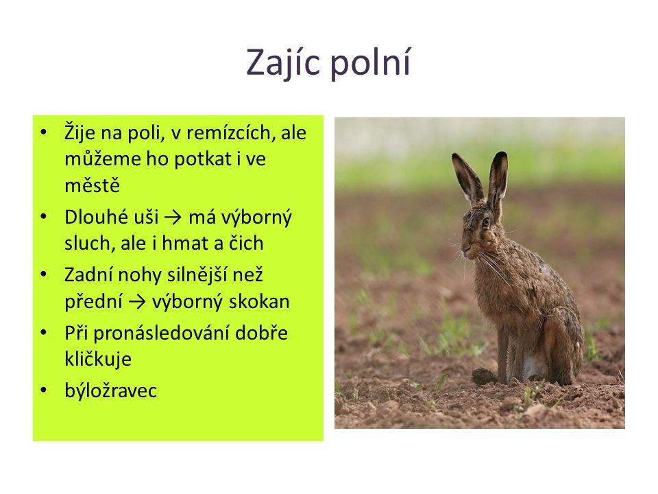 Zajíc polní Žije na poli, v remízcích, ale můžeme ho potkat i ve městě Dlouhé uši → má výborný sluch, ale i hmat a čich Zadní nohy silnější než přední → výborný skokan Při pronásledování dobře kličkuje býložravec