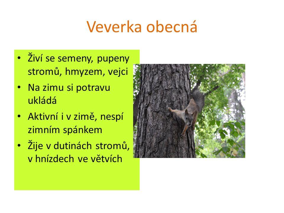 Veverka obecná Živí se semeny, pupeny stromů, hmyzem, vejci Na zimu si potravu ukládá Aktivní i v zimě, nespí zimním spánkem Žije v dutinách stromů, v hnízdech ve větvích
