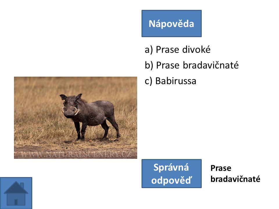 a) Prase divoké b) Prase bradavičnaté c) Babirussa Nápověda Správná odpověď Prase bradavičnaté