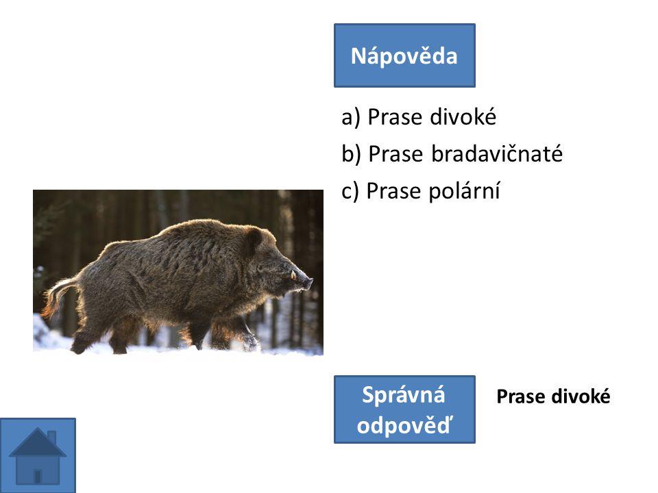 a) Prase divoké b) Prase bradavičnaté c) Prase polární Nápověda Správná odpověď Prase divoké