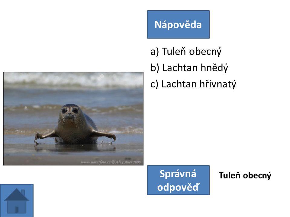 a) Tuleň obecný b) Lachtan hnědý c) Lachtan hřivnatý Nápověda Správná odpověď Tuleň obecný