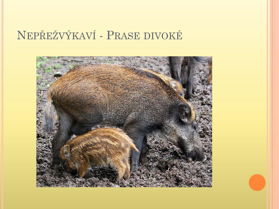N EPŘEŽVÝKAVÍ - P RASE DIVOKÉ