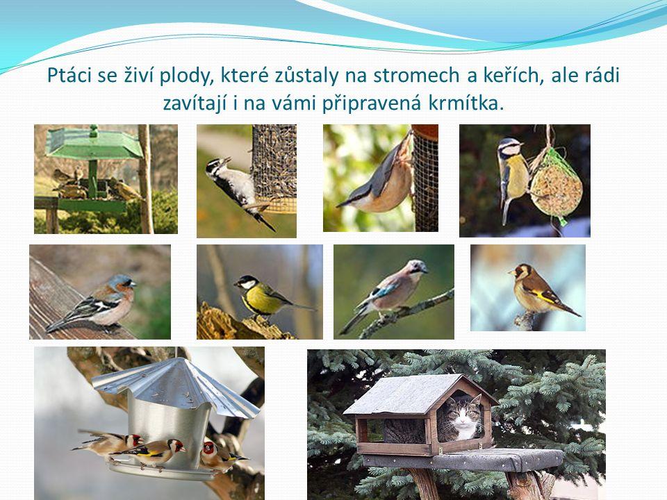 Ptáci se živí plody, které zůstaly na stromech a keřích, ale rádi zavítají i na vámi připravená krmítka.