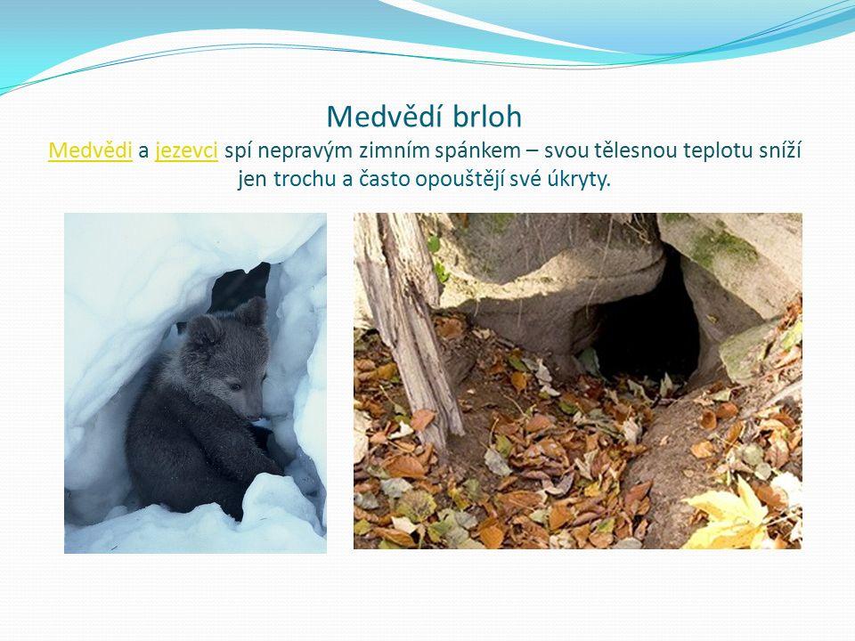 Medvědí brloh Medvědi a jezevci spí nepravým zimním spánkem – svou tělesnou teplotu sníží jen trochu a často opouštějí své úkryty.
