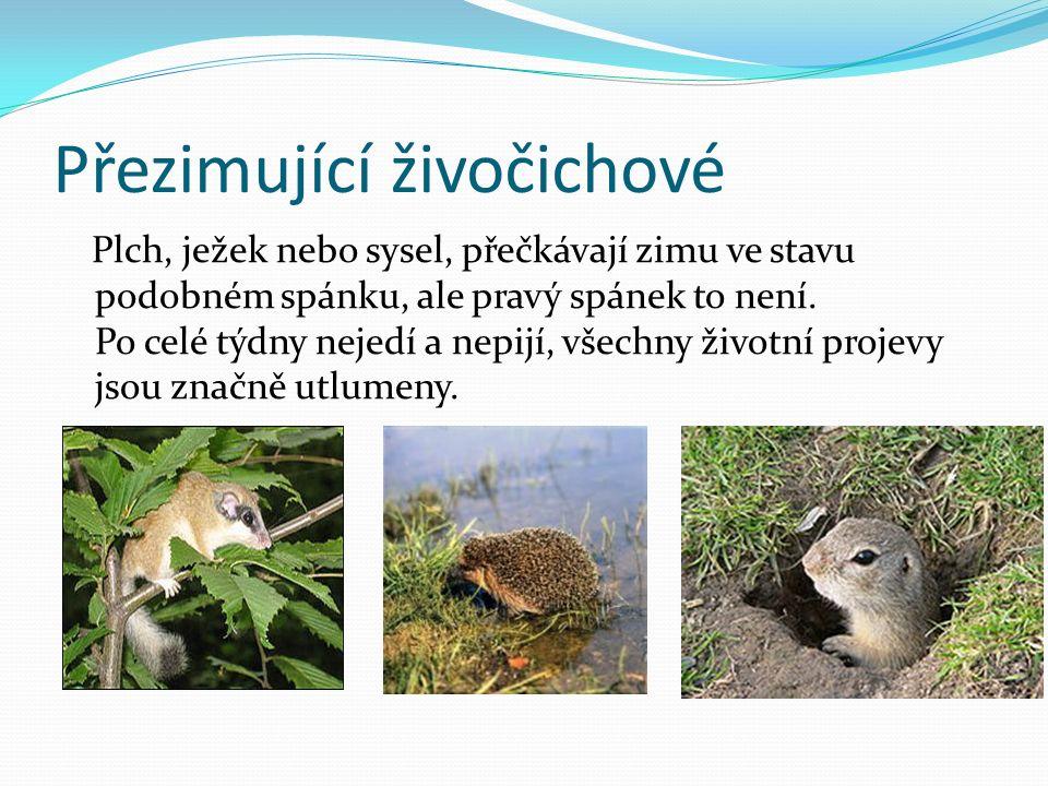 Přezimující živočichové Plch, ježek nebo sysel, přečkávají zimu ve stavu podobném spánku, ale pravý spánek to není.