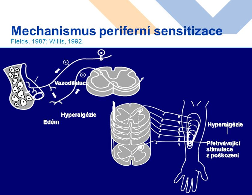 www.karim-vfn.cz Mechanismus periferní sensitizace Fields, 1987; Willis, 1992.