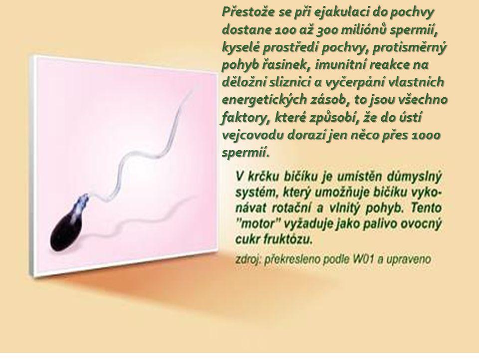 Přestože se při ejakulaci do pochvy dostane 100 až 300 miliónů spermií, kyselé prostředí pochvy, protisměrný pohyb řasinek, imunitní reakce na děložní sliznici a vyčerpání vlastních energetických zásob, to jsou všechno faktory, které způsobí, že do ústí vejcovodu dorazí jen něco přes 1000 spermií.