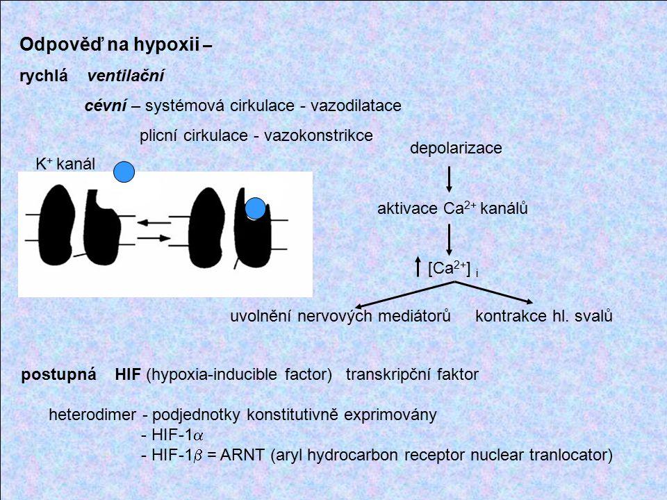 Odpověď na hypoxii – rychlá ventilační cévní – systémová cirkulace - vazodilatace plicní cirkulace - vazokonstrikce K + kanál depolarizace aktivace Ca 2+ kanálů [Ca 2+ ] i uvolnění nervových mediátorů kontrakce hl.