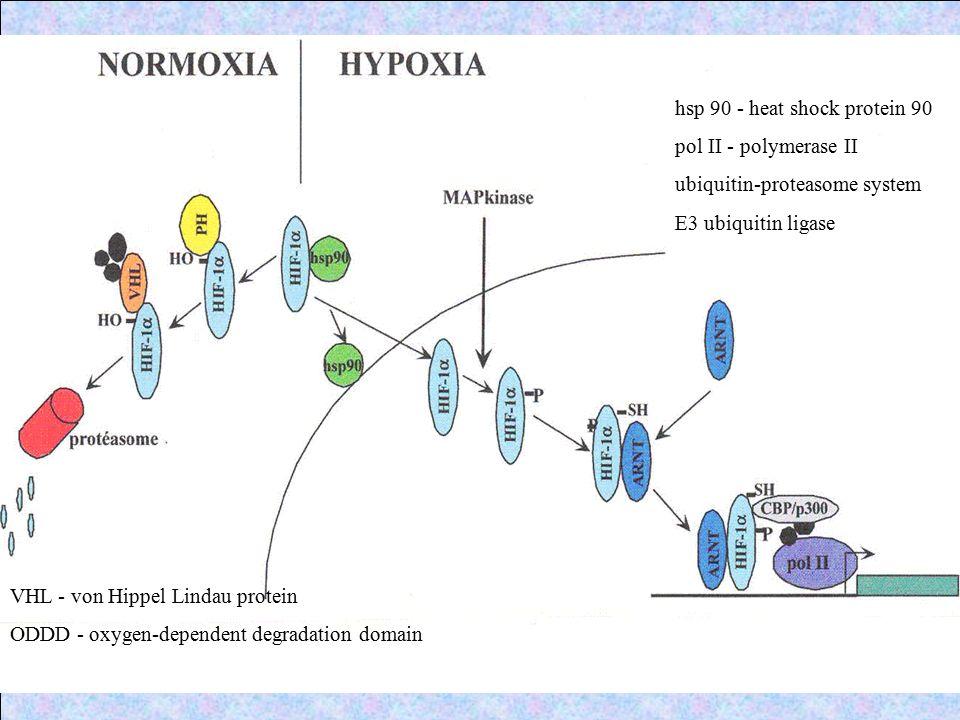 hsp 90 - heat shock protein 90 pol II - polymerase II ubiquitin-proteasome system E3 ubiquitin ligase VHL - von Hippel Lindau protein ODDD - oxygen-de