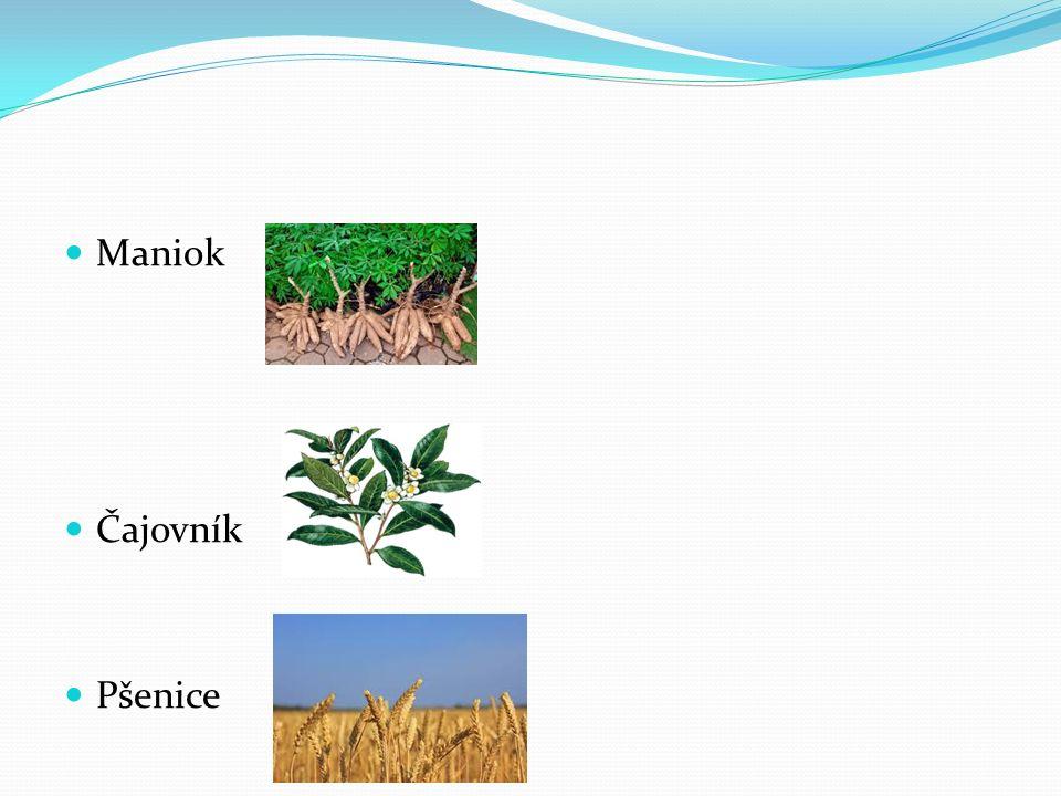 Maniok Čajovník Pšenice