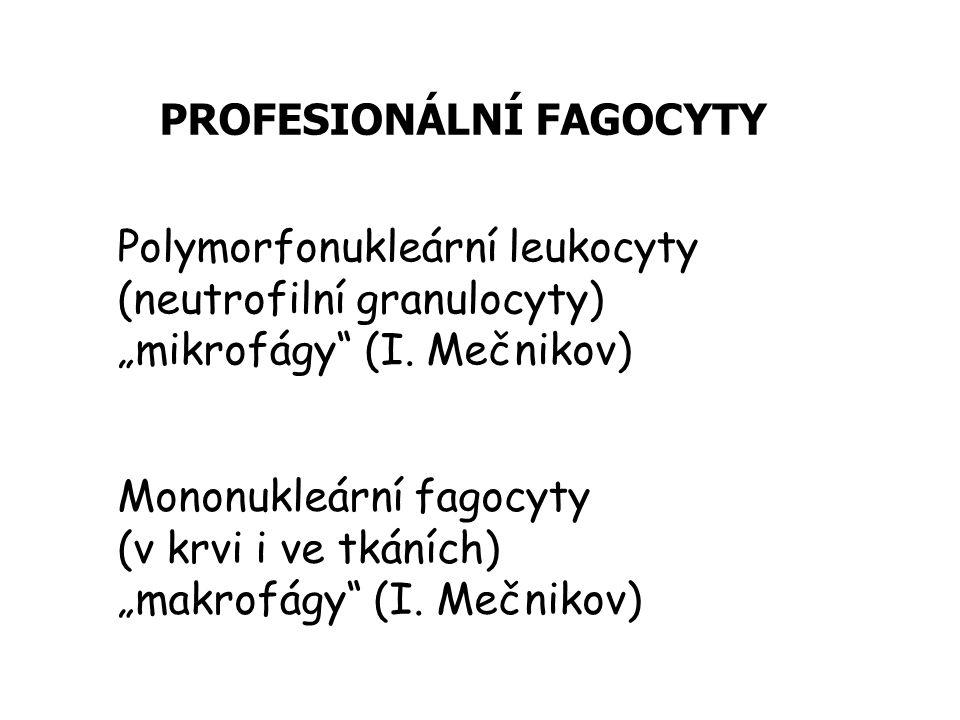 """PROFESIONÁLNÍ FAGOCYTY Polymorfonukleární leukocyty (neutrofilní granulocyty) """"mikrofágy (I."""