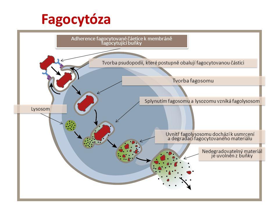 Adherence fagocytované čáetice k membráně fagocytující buňky Tvorba psudopodií, které postupně obalují fagocytovanou částici Tvorba fagosomu Splynutím fagosomu a lysozomu vzniká fagolysosom Uvnitř fagolysosomu dochází k usmrcení a degradaci fagocytovaného materiálu Nedegradovatelný materiál je uvolněn z buňky Lysosom Fagocytóza