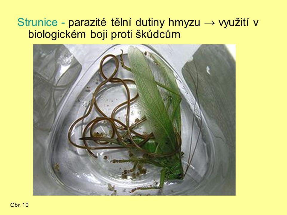 Strunice - parazité tělní dutiny hmyzu → využití v biologickém boji proti škůdcům Obr. 10