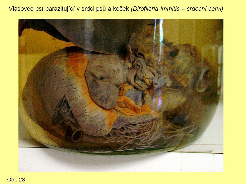 Vlasovec psí parazitující v srdci psů a koček (Dirofilaria immitis = srdeční červi) Obr. 23