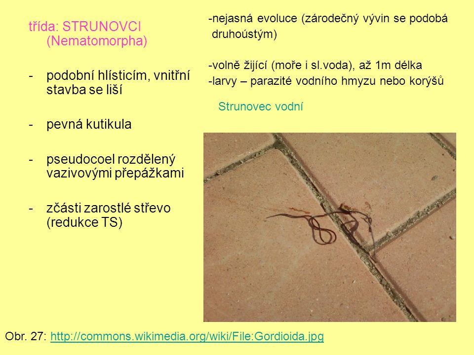 třída: STRUNOVCI (Nematomorpha) -podobní hlísticím, vnitřní stavba se liší -pevná kutikula -pseudocoel rozdělený vazivovými přepážkami -zčásti zarostlé střevo (redukce TS) Obr.
