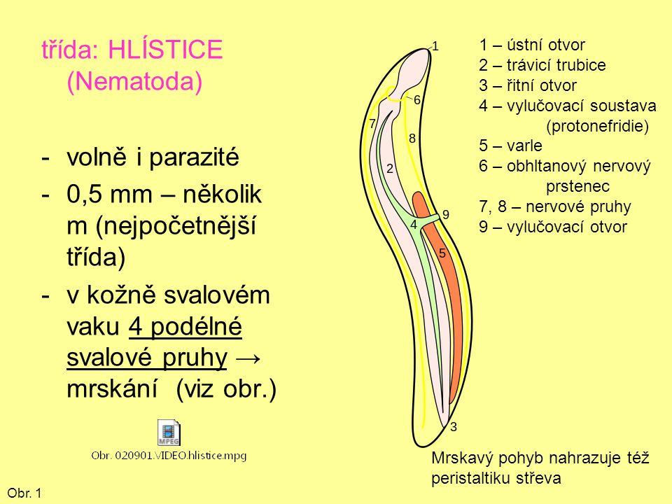 třída: HLÍSTICE (Nematoda) -volně i parazité -0,5 mm – několik m (nejpočetnější třída) -v kožně svalovém vaku 4 podélné svalové pruhy → mrskání (viz obr.) Obr.