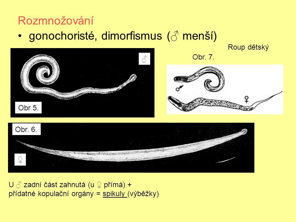Rozmnožování gonochoristé, dimorfismus (♂ menší) Roup dětský U ♂ zadní část zahnutá (u ♀ přímá) + přídatné kopulační orgány = spikuly (výběžky) ♂ ♀ Obr 5.