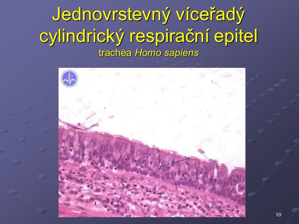10 Jednovrstevný víceřadý cylindrický respirační epitel trachea Homo sapiens