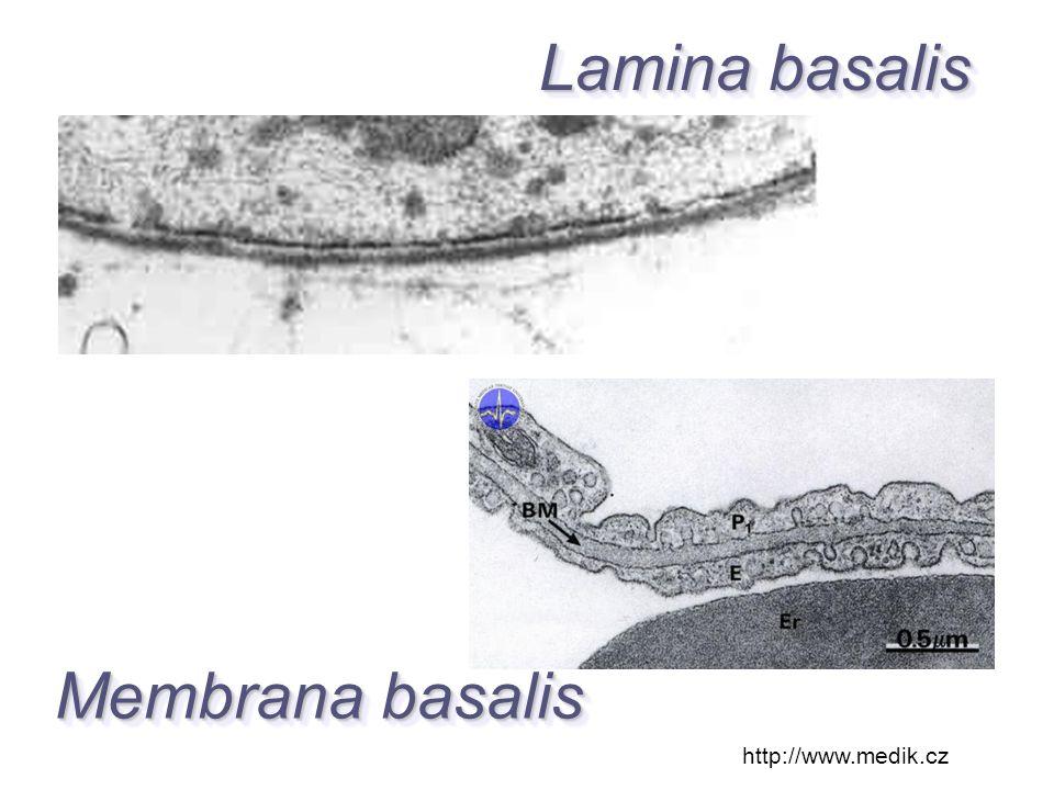 http://www.medik.cz Membrana basalis