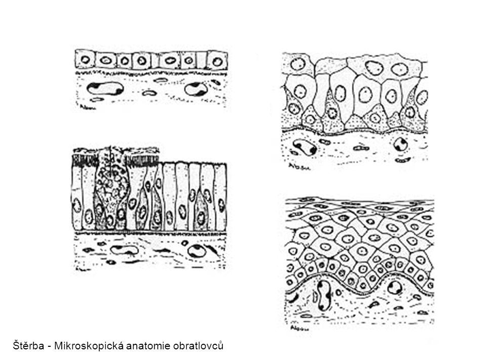 Štěrba - Mikroskopická anatomie obratlovců