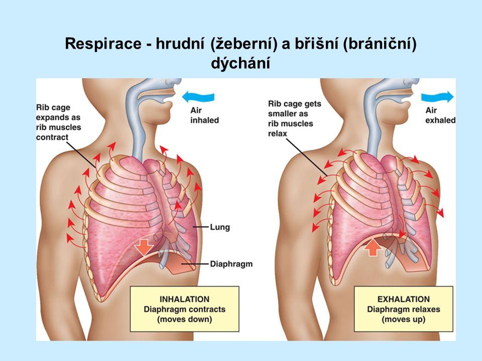 Respirace - hrudní (žeberní) a břišní (brániční) dýchání