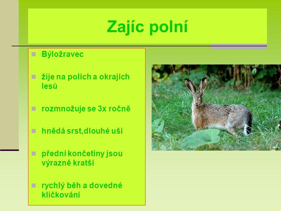 Zajíc polní Býložravec žije na polích a okrajích lesů rozmnožuje se 3x ročně hnědá srst,dlouhé uši přední končetiny jsou výrazně kratší rychlý běh a dovedné kličkování