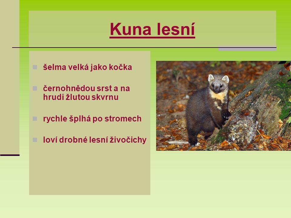 Kuna lesní šelma velká jako kočka černohnědou srst a na hrudi žlutou skvrnu rychle šplhá po stromech loví drobné lesní živočichy