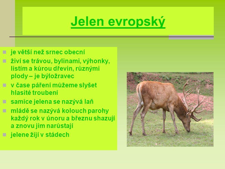 Jelen evropský je větší než srnec obecní živí se trávou, bylinami, výhonky, listím a kůrou dřevin, různými plody – je býložravec v čase páření můžeme slyšet hlasité troubení samice jelena se nazývá laň mládě se nazývá kolouch parohy každý rok v únoru a březnu shazují a znovu jim narůstají jelene žijí v stádech
